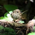 Photos: コルリ 幼鳥