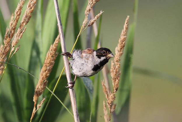 オオジュリン  幼鳥
