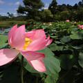 Photos: ハスの花ー3
