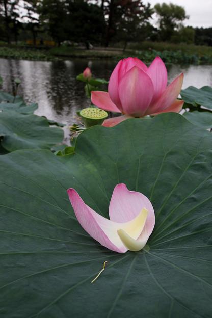 Photos: ハスの花 花びら