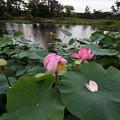 Photos: ハスの花ー6
