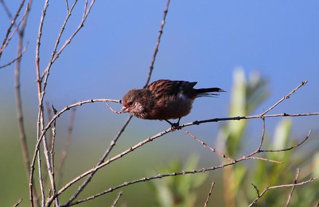 ベニマシコー幼鳥