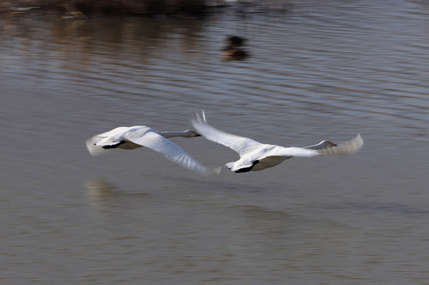 ハクチョウー低空飛行