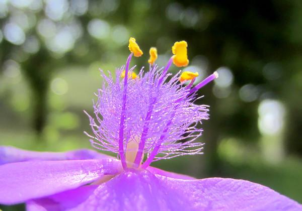 baIMG_0625紫つゆ草