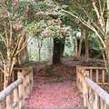 Photos: 椿の庭
