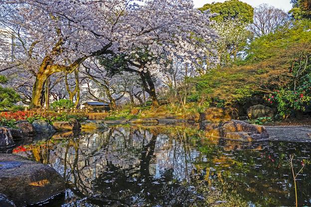 写真: 池と桜