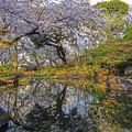 Photos: 池と桜