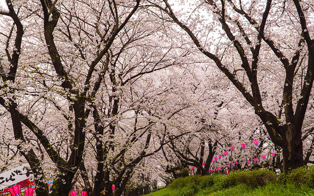 写真: 雨降りの桜