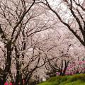 雨降りの桜