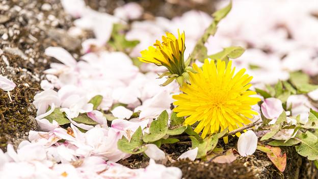 Photos: 恋の花から太陽の花の季節へ