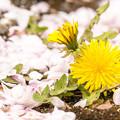 写真: 恋の花から太陽の花の季節へ