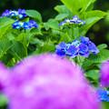 写真: 紫陽花の丘