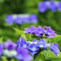 写真: 紫陽花の咲くころ