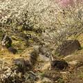 写真: 小川の跡と、白梅