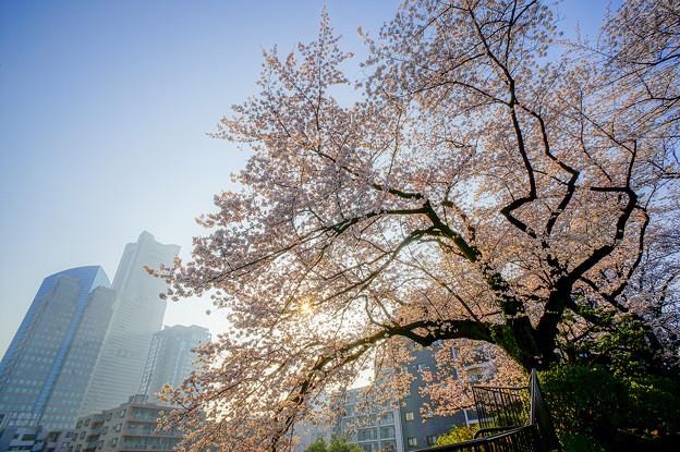 みなとみらいと桜