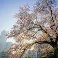 Photos: みなとみらいと桜