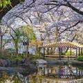Photos: 池と桜と休憩所と