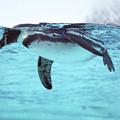 Photos: フンボルトペンギン