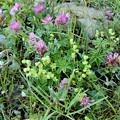 Photos: 高山植物