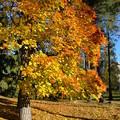 紅葉した樹木