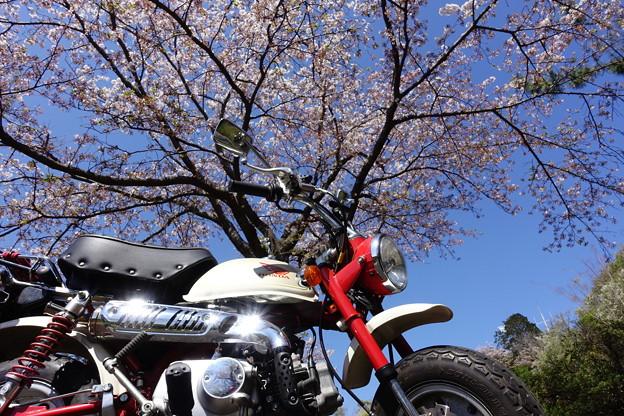 櫻の木の下で・・