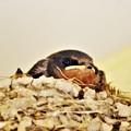 写真: 今年の燕