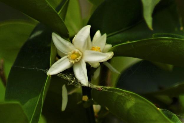 キンカンの花 (2)