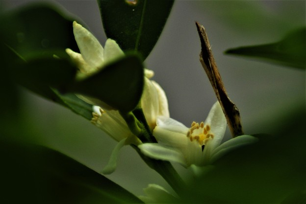 写真: キンカンの花