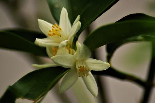 キンカンの花 (1)