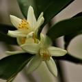 写真: キンカンの花 (1)