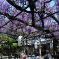 熊野古道の藤祭り