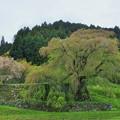 新緑の又兵衛桜