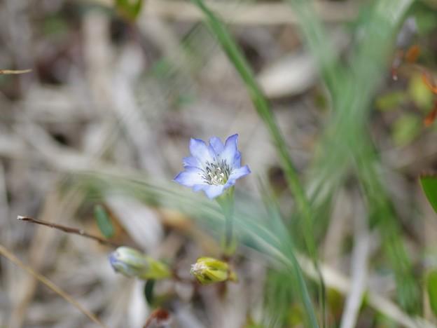 写真: サロベツの花(リンドウ)