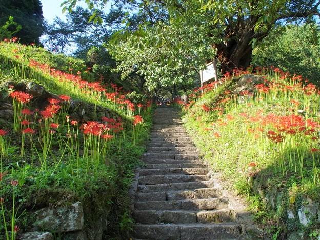 千年桜の石段