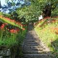 写真: 千年桜の石段