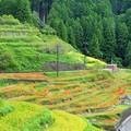 写真: 丸山千枚田の秋