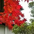 Photos: 我が家の紅葉
