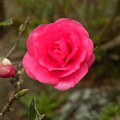 Photos: 山茶花が咲いた