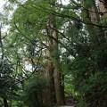 熊野古道「野中の一方杉」