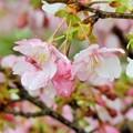 大門坂の桜