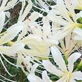 ヒガンバナが咲いた2