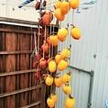 吊るし柿作った