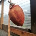 百匁柿の吊るし柿