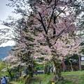 写真: 南禅寺 桜
