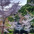 「哲学の道」 桜〈1〉