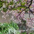 「哲学の道」 桜〈3〉