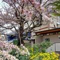 「哲学の道」 桜〈4〉