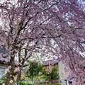 「哲学の道」 桜〈6〉
