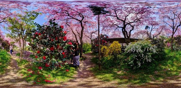 京都・原谷苑の桜 360度パノラマ写真(2)