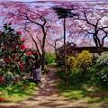 写真: 京都・原谷苑の桜 360度パノラマ写真(2)